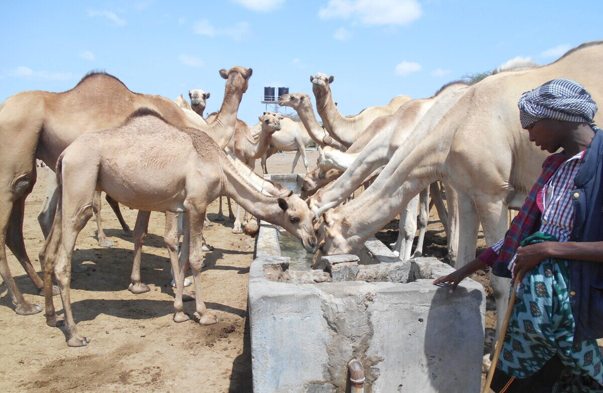 Camel milk – In memory of John